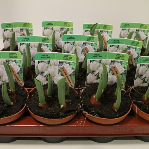 Tulipa 'White Desire' (Gebr. Straathof)