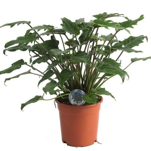 Philodendron xanadu (Ichtus Flowers)
