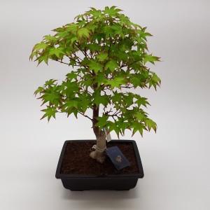 Acer palmatum 'Tsumabeni'