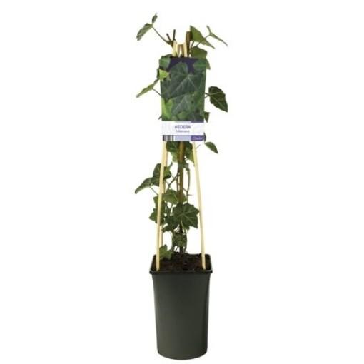 Hedera hibernica (Van Der Starre BV)