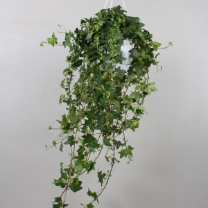 Hedera helix 'Pittsburgh' (Vireo Plant Sales)