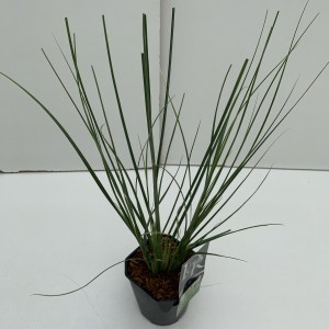Cortaderia selloana MINIPAMPAS (Cammeraat Potcultuur)