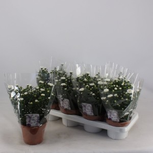 Aster SHOWMAKERS SNOW WHITE (Kwekerij Montis Zuidplas B.V.)