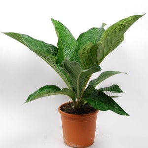 Anthurium BOTANICAL KING LOVELY GREEN (Van der Arend Tropical Plantcenter)
