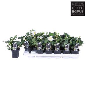 Helleborus niger 'Christmas Carol' (Hoogeveen Plants)