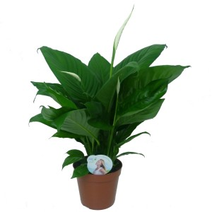 Spathiphyllum LIMA (JK Plant)