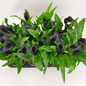 Zantedeschia 'Black Hero' (BB Plant)