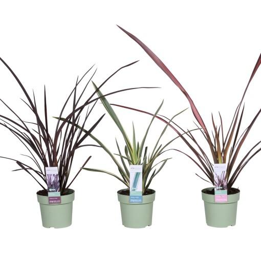 Phormium MIX (Hoogeveen Plants)