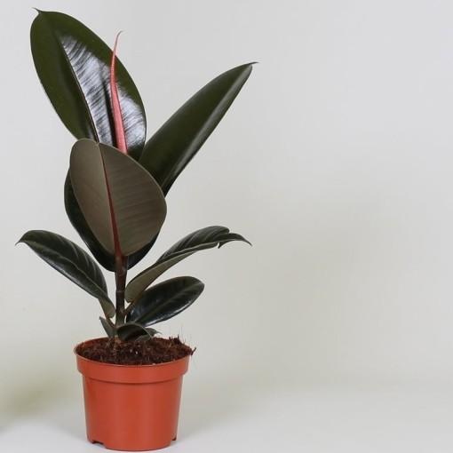 Ficus elastica 'Abidjan' (Groot BV, Kwekerij J. de)