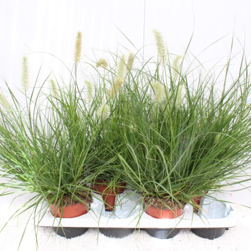 Pennisetum alopecuroides 'Little Bunny' (Experts in Green)