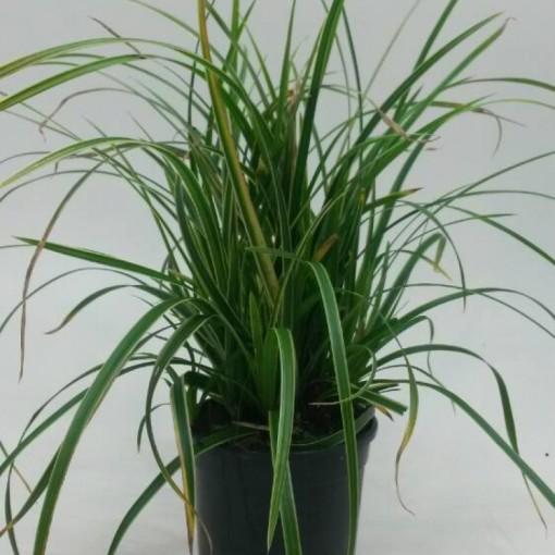 Carex morrowii 'Ice Dance' (WTM de Boer)