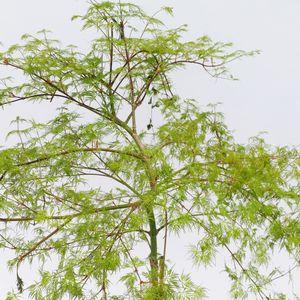 Acer palmatum 'Emerald Lace' (Son & Koot BV)