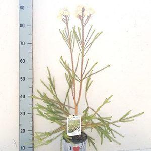 Berzelia galpinii BAUBBLES (Flora Toscana)