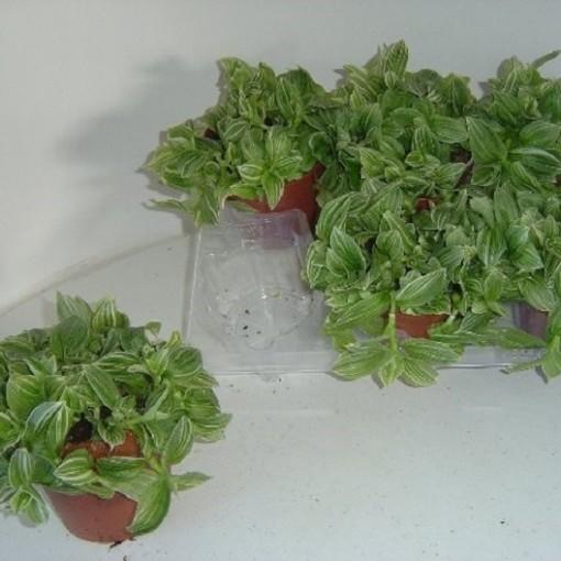 Tradescantia 'Green' (Hendriks CV, GJ)