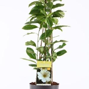 Magnolia FAIRY CREAM