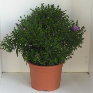 Aster SAPPHIRE (Experts in Green)