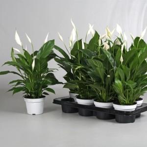 Spathiphyllum 'Strauss' (Van der Voort Potplanten)