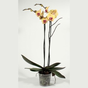 Phalaenopsis 'Golden Beauty' (Kwekerij Duijn-Hove B.V.)