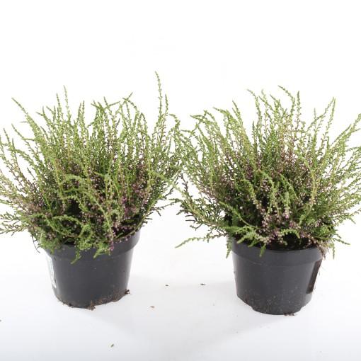 Calluna vulgaris 'Tib' (Experts in Green)