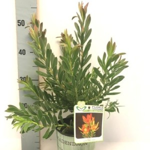 Leucadendron 'Gem'