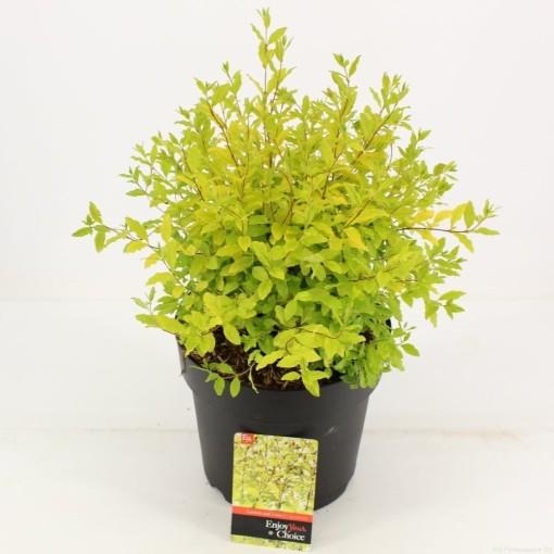 Ligustrum ovalifolium 'Lemon and Lime' (Snepvangers Tuinplanten BV)