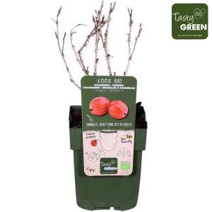 Ribes uva-crispa 'Captivator'
