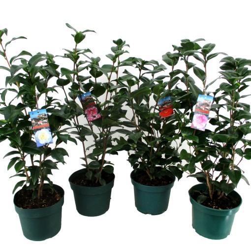 Camellia MIX (Luiten kwekerij)