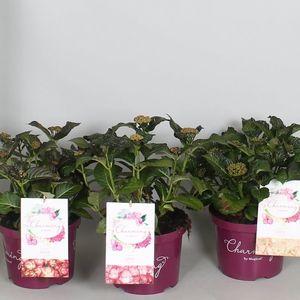 Hydrangea macrophylla CHARMING MIX (De Jong Plant BV)