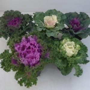 Brassica oleracea MIX