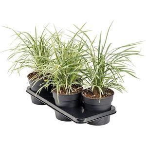 Liriope muscari 'Aztec Grass'