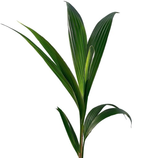 Cocos nucifera (FlorAccess)