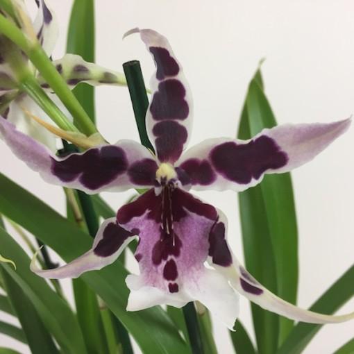 x Beallara Gothic (Wichmann Orchideen e.K.)