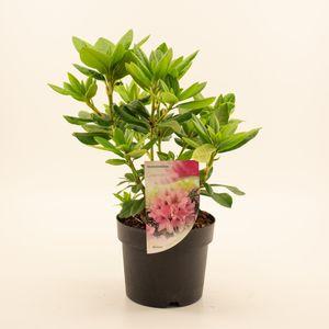 Rhododendron 'Cosmopolitan' (Dool Botanic)