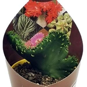 Euphorbia leucodendron criatata
