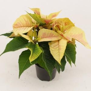 Euphorbia pulcherrima CHRISTMAS FEELINGS MARBLE