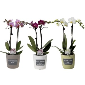 Phalaenopsis LITTLE KOLIBRI MIX