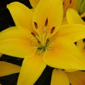 Lilium 'Tiny Bee' (Wetering Potlilium)