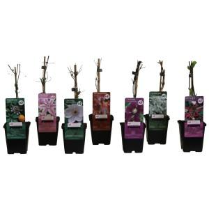 Climbers MIX (Hoogeveen Plants)