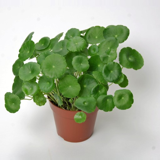 Centella asiatica 'Lucky Leaves' (Van der Arend Tropical Plantcenter)