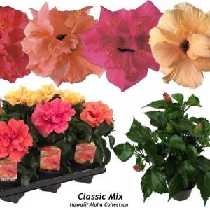 Hibiscus rosa-sinensis CLASSIC MIX