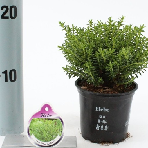 Hebe 'New Zealand' (About Plants Zundert BV)