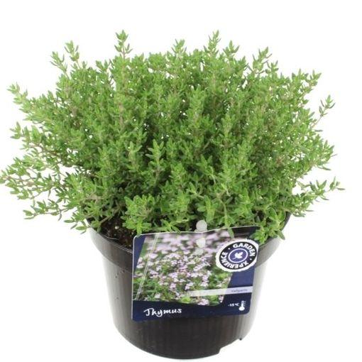 Thymus vulgaris 'Compactus' (Noordpoel, Kwekerij de)