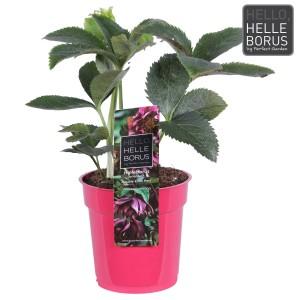 Helleborus orientalis 'Double Ellen Red' (Hoogeveen Plants)