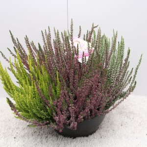 Calluna vulgaris BEAUTY LADIES MIX IN POT (Experts in Green)