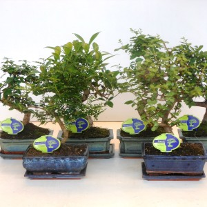 Bonsai MIX