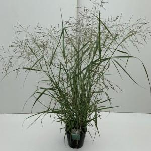 Panicum virgatum 'Prairie Sky' (Cammeraat Potcultuur)