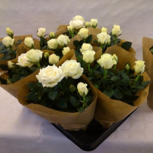 Rosa INFINITY WHITE (Gasa DK)
