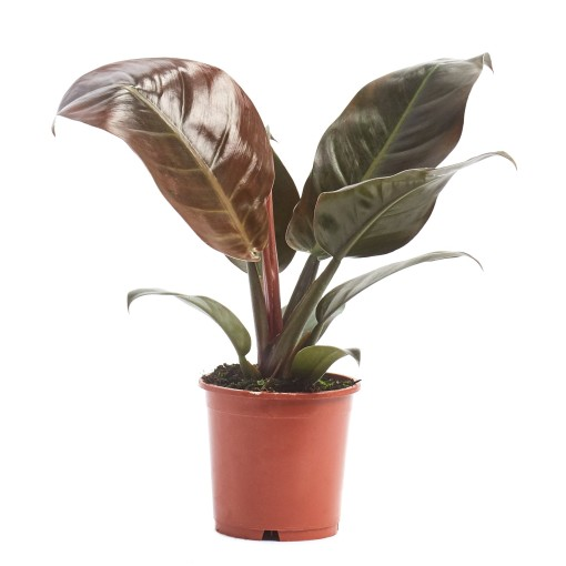 Philodendron 'Imperial Red' (Ichtus Flowers)