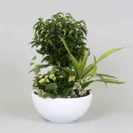 Arrangements Ficus (Groot BV, Kwekerij J. de )