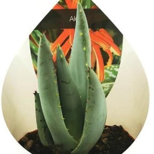 Aloe peglerae (Giromagi)